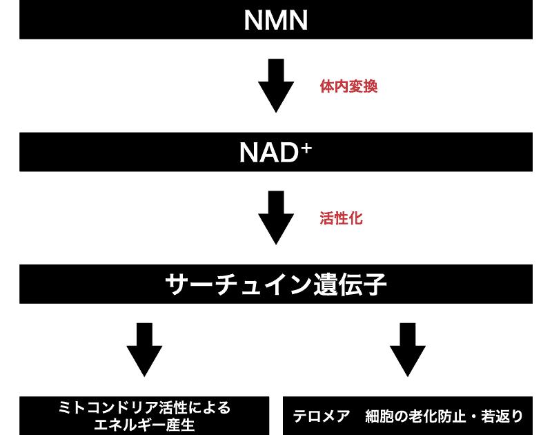 体内でのNMNの変換図